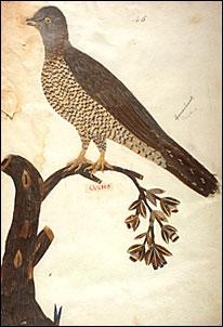Manuscript illumination of a Cuckoo (Cuculus canorus) by Minaggio, 1618